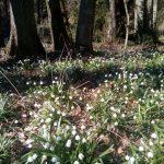 Polenztal - Märzenbecherblüte
