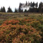 Borkenkäferwald oder was davon übrig bleibt